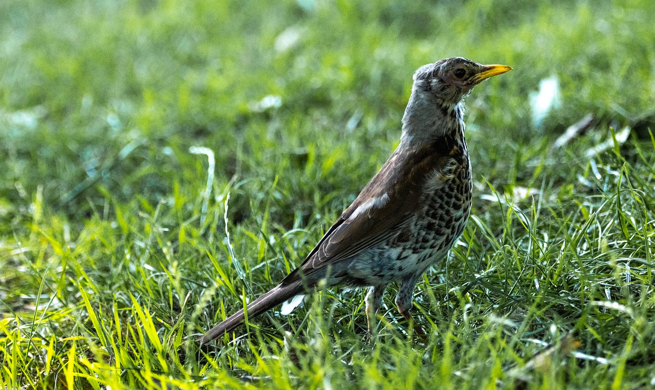 song thrush grass nature meadow 5342445